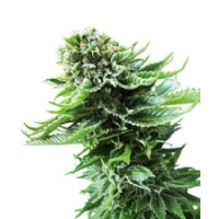 Northern Lights Automatic Sensi Seeds - 5 Seeds