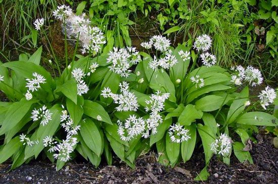 ramsons seeds allium ursinum by sementi dotto. Black Bedroom Furniture Sets. Home Design Ideas