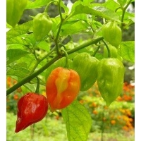 Antillais Caribbean Habanero - 10 X Pepper Seeds