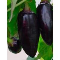 Ecuadorian Brown - 10 X Pepper Seeds