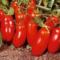 SAN MARZANO 2 TOMATO -   Bio Garden by Sementi Dotto