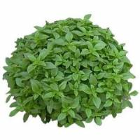 BASIL THIN GREEN - Bio Aromatic Seeds by Sementi Dotto