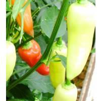 Aji Cristal - 10 X Pepper Seeds