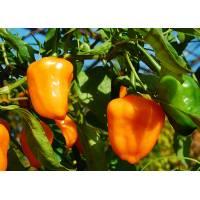 Aji Ecuadorian Orange - 10 X Pepper Seeds