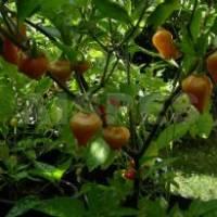 Schwarze Perle - 10 X Pepper Seeds