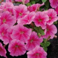 Dwarf Petunia Pink - Gold Seeds by Sementi Dotto