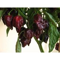 7 Pot Brown- 10 X Pepper Seeds