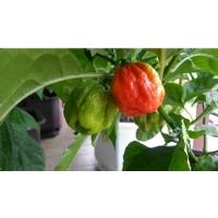 7 Pot Jonah- 10 X Pepper Seeds