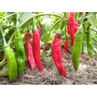 Aji Colorado - 10 X Pepper Seeds
