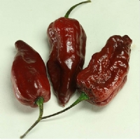 Big Bang Chocolate Naga - 10 X Pepper Seeds