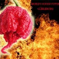 Carolina Reaper - 10 X Pepper Seeds