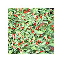 Demon Red chilli - 10 X Pepper Seeds
