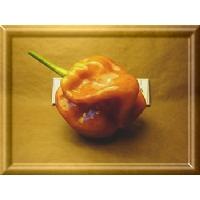 Habanero Capuchino - 10 X Pepper Seeds