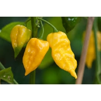 Habanero Hot Lemon - 10 X Pepper Seeds