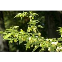 Habanero Laranjada Grande - 10 X Pepper Seeds