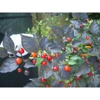 Mata Frade - 10 X Pepper Seeds
