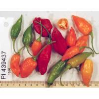 PI-439437 Chilli - 10 X Pepper Seeds