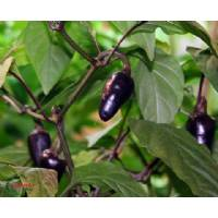 Purple Serrano - 10 X Pepper Seeds