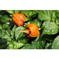 Trinidad Scorpion Moruga Caramel - 10 X Pepper Seeds