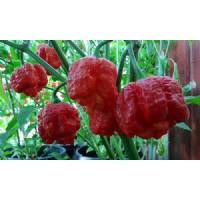 Trinidad Scorpion Moruga Red- 10 X Pepper Seeds