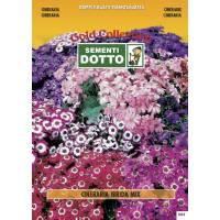 Cineraria (Senecio cruentus) mix - Gold Seeds by Sementi Dotto 0.01gr