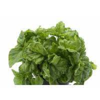 LETTUCE LEAF BASIL - Bio Aromatic Seeds by Sementi Dotto