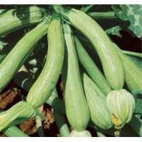 GENOA ZUCCHINI -  Bio Garden Seeds by Sementi Dotto