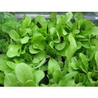 LEAF CHICORY 3.8gr - Bio Garden Seeds by Sementi Dotto